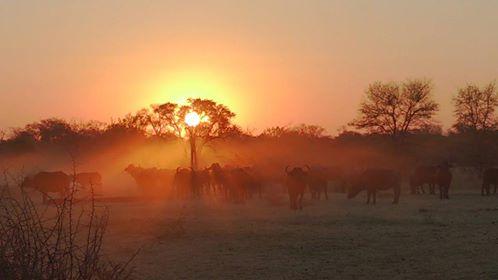 Laatmiddag buffels