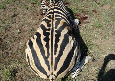 Hartman Zebra (4)