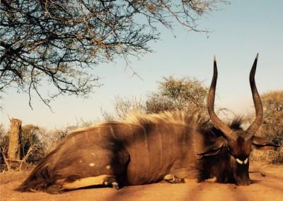 Lungile Safaris Nyala (4)