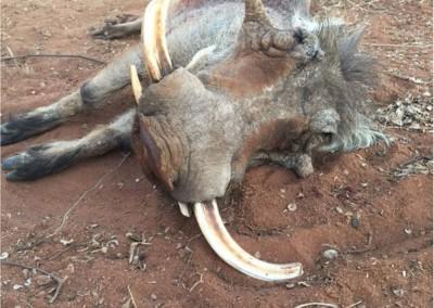 Lungile Safaris Warthog (21)
