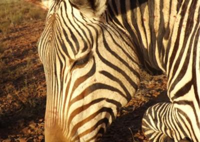 Lungile Safaris Zebra (26)