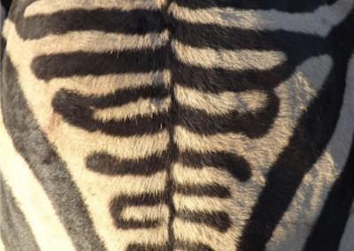 Lungile Safaris Zebra (27)