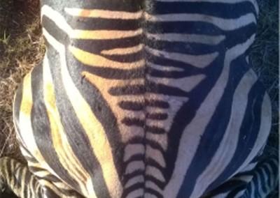 Lungile Safaris Zebra (28)