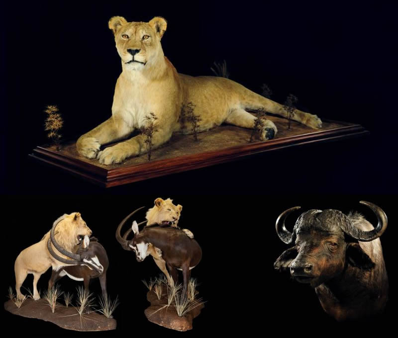 Lungile Safaris Trophy Hunter Operators - Taxidermied